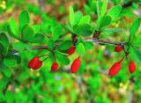 Кизил: описание, посадка в открытом грунте, уход, размножение, возможные болезни — растение на все случаи жизни (50+ Фото & Видео) +Отзывы