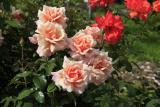 Чайно-гибридные розы: описание с фото 25 лучших сортов   +Отзывы