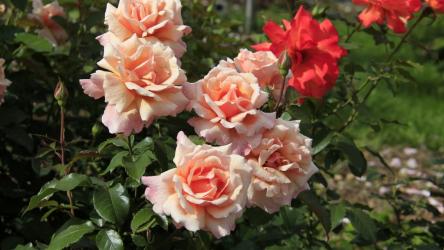 Чайно-гибридные розы: описание с фото 25 лучших сортов | +Отзывы
