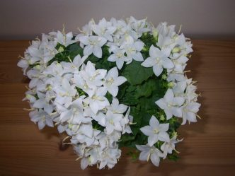 Комнатный цветок «Жених и невеста» или кампанула: описание, уход, размножение и возможные заболевания (50 Фото) +Отзывы