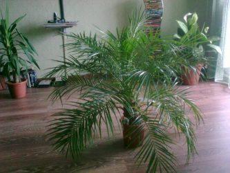 Хамедорея – своя собственная пальма в домашних условиях: описание, размножение, пересадка и уход (30 Фото & Видео) +Отзывы
