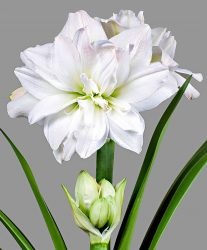 Цветок гиппеаструм домашний — многоликий гибрид: описание, виды, уход, выращивание, размножение и другая полезная информация (160 Фото) +Отзывы