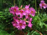Инкарвиллея: описание, выращивание, размножение, посадка в открытый грунт и уход за декоративным гостем из Азии (50+ Фото & Видео) +Отзывы