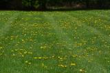 Как навсегда избавиться от одуванчиков на участке или газоне?