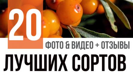 Облепиха: описание 20 лучших сортов. Крупноплодовые, без шипов и морозостойкие (Фото & Видео) +Отзывы
