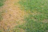 Почему желтеет газонная трава?   Причины и меры первой помощи (Фото & Видео) +Отзывы