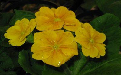 Примула: описание, сорта для домашнего выращивания из семян, соблюдение правил выращивания и ухода (50+ Фото & Видео) +Отзывы