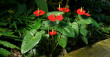 Антуриум (Anthurium): виды и сорта, посадка и уход в домашних условиях, размножение, пересадка   (Фото & Видео)
