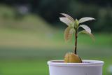 Авокадо: выращивание в домашних условиях из косточки   (Фото & Видео) +Отзывы