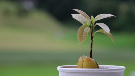 Авокадо: выращивание в домашних условиях из косточки | (Фото & Видео) +Отзывы