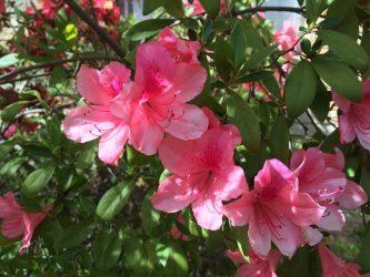 Азалия — описание, уход, размножение и возможные болезни (35 Фото & Видео) — Соблюдаем агротехнику выращивания