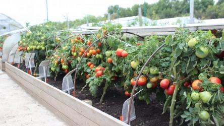 Чем следует подкормить помидоры после высадки в теплицу, в грунт чтобы они были толстенькие и вкусные (Фото & Видео)+Отзывы