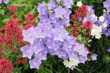 Колокольчик — природная красота на вашей клумбе: описание, сорта, посадка и уход, выращивание из семян (50 Фото &  Видео) +Отзывы