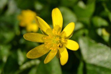 Ранункулюс (Лютик): описание, виды и сорта, выращивание и размножение, посадка в открытый грунт и уход, полезные свойства (50 Фото & Видео) +Отзывы
