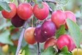 Алыча: описание 23 лучших сортов с отзывами садоводов   (Фото & Видео)