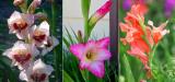 Гладиолусы: описание, классификация сортов, посадка в открытый грунт и уход (90 Фото & Видео) +Отзывы