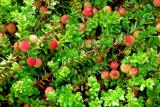 Клюква садовая: посадка и уход, рекомендации по выращиванию из семян на дачном участке, полезные свойства, использование кулинарии | +Отзывы