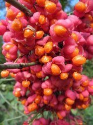 Бересклет: Описание растения, виды и сорта, выращивание, посадка в открытом грунте и уход, размножение (65+ Фото & Видео) +Отзывы