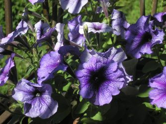 Петуния – королева сада: общее описание, посев семян на рассаду, уход за растениями. Разновидности петуний: виды, сорта, (100+ Фото & Видео) +Отзывы