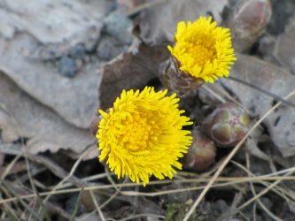 Целебное растение Мать-и-мачеха: описание, полезные свойства и противопоказания, рецепты (Фото & Видео) +Отзывы