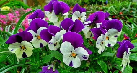 Анютины глазки: 10 видов, описание процесса выращивания из семян в открытом грунте и рассады домашних условиях, использование цветов (60+ Фото & Видео) +Отзывы