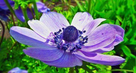 Анемоны: 25 видов, особенности размножения и ухода, посадка в открытый грунт, выгонка зимой, описание лекарственных свойств растения (50+ Фото & Видео) +Отзывы