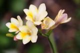 Фрезия: особенности посадки и ухода в открытом грунте, выращивание и рекомендации, советы новичкам   (100+ Фото & Видео) +Отзывы