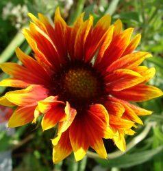 Золотисто-красная Гайлардия многолетняя: описание, выращивание из семян, посадка в открытый грунт и уход (45+ Фото & Видео) +Отзывы