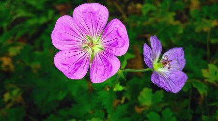 Герань: описание, виды, уход в домашних условиях, выращивание, размножение, обрезка и другая полезная информация (50+ Фото & Видео) +Отзывы