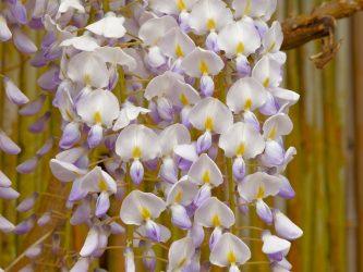 Глициния: описание, выращивание в открытом грунте и особенности ухода за прихотливой красавицей в разных климатических зонах (65+ Фото & Видео) +Отзывы