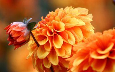 Георгины: описание 10 самых красивых сортов, посадка и уход (100 Фото & Видео) +Отзывы