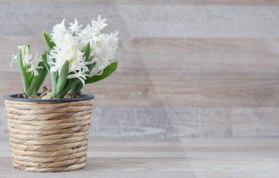 Гиацинт (80+ Фото) — Посадка, уход и размножение в домашних условиях — Нарядный букет на подоконнике +Отзывы