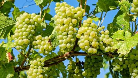 Виноград: описание 20 сортов для выращивания в умеренном климатическом поясе, особенности ухода и размножения в домашних условиях (Фото & Видео) +Отзывы