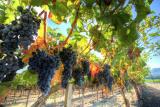 Посадка винограда: сроки, расстояние, подготовка ямы и высадка саженца в открытый грунт, условия для Подмосковья и Сибири   (Фото & Видео) +Отзывы