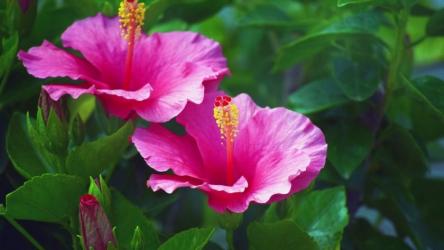 Гибискус (китайская роза): описание, выращивание, размножение и уход, возможные болезни тропической мальвы | (75+ Фото & Видео) +Отзывы