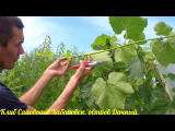 [ВИДЕО] Обрезка лоз винограда летом