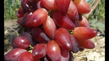 [ВИДЕО] Обзор ранних и ультраранних сортов винограда