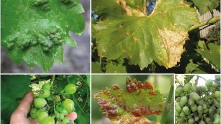 [ВИДЕО] Опасные болезни винограда