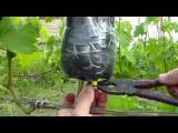 [ВИДЕО] Выращивание саженцев винограда