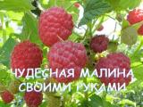 [ВИДЕО] Как посадить малину без ошибок