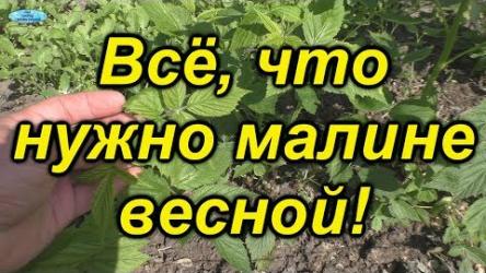 [ВИДЕО] Секреты выращивания малины