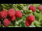 [ВИДЕО] Самые урожайные сорта малины
