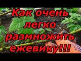 [ВИДЕО] Зимнее размножение ежевики