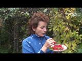 [ВИДЕО] Как выращивать лимонник