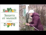 [ВИДЕО] Как зимой уберечь молодые саженцы от грызунов