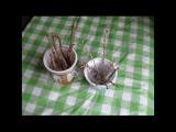[ВИДЕО] Как укоренить черенки крыжовника