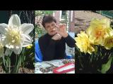 [ВИДЕО] Нарциссы
