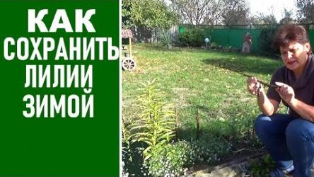 [ВИДЕО] Подготовка лилий к зиме