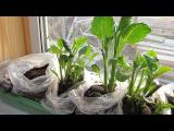 [ВИДЕО] Способ проращивания георгинов