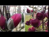 [ВИДЕО] Как вырастить красавицу магнолию на даче